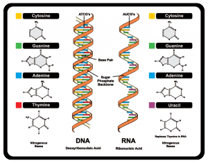 GTAC diagram of DNA